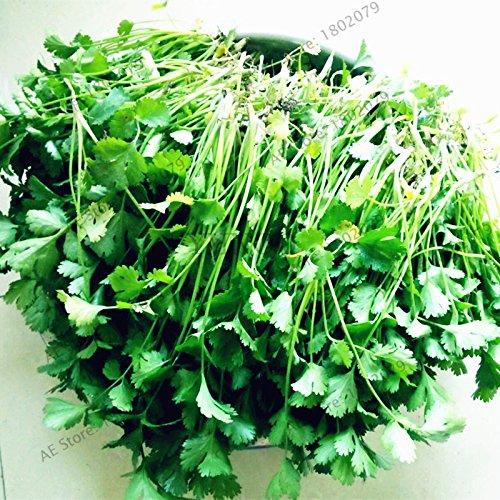 30pcs/sac graines de légumes graines de persil balcon quatre grandes saisons peuvent pousser les graines de coriandre plantes Bonsai graines pour la maison et le jardin