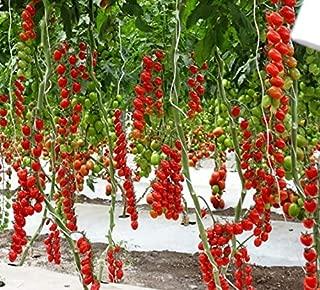 Seeds Rare Tomato Tree Red Vegetable Organic Heirloom Ukraine