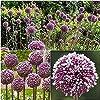 5個のネギの球根屋外の庭の植栽に適した美しい香りのよい花ユニークな園芸装飾は装飾的な価値があります