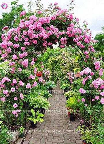 200PCS rosier grimpant Graines Rare Belle Graines de fleurs vivaces Rose chinoise Décor Plante en pot pour jardin 1
