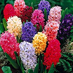 Hyacinths flowers in pink, red, yellow and purple.