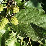 25 Semillas de Negro aliso/Alnus Glutinosa