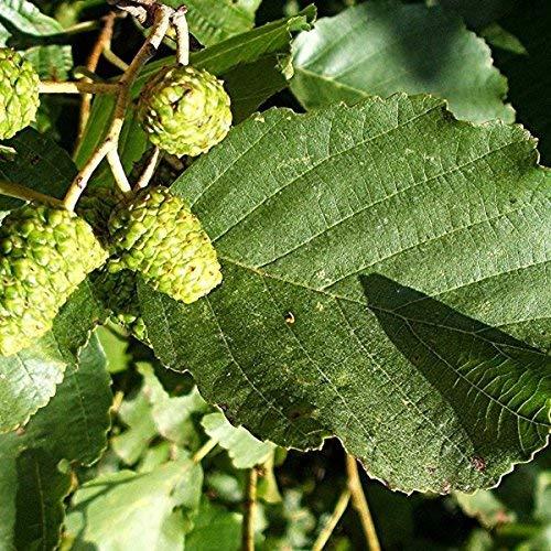 25 Samen von Schwarzerle/Alnus Glutinosa