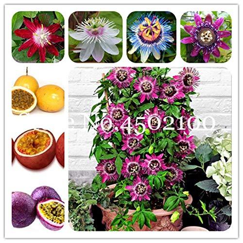 Kalash Neue 100 PC Passi Incarnata Blumensamen für Gartenmischfarbe 3