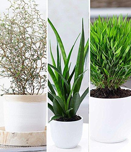 BALDUR-Garten Zimmerpflanzen-Mix Fensterbank, 3 Pflanzen je 1 Pflanze Maori® Sophora Cotoneaster 'Little Baby', Sanseveria Kirkii und Zwergbambus Zimmerpflanzen
