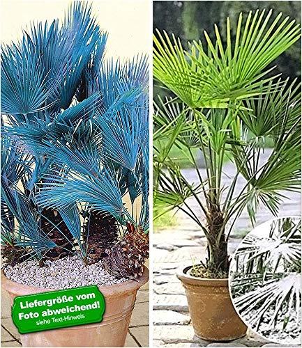 BALDUR-Garten Winterharte Palmen-Sortiment