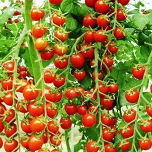100 graines / emballer les graines Bonsai Tomate Cerise Mini pot doux fruits légumes frais bio