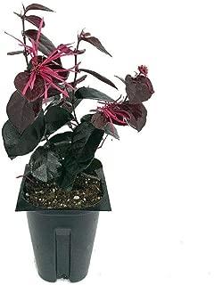Jazz Hands Bold Chinese Fringe Flower 4 Inch Pot Loropetalum Proven Winners AG002