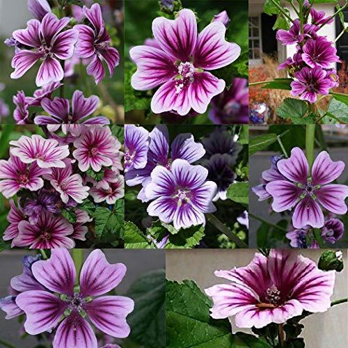 Beautytalk-Garten Malve Samen Selten Schönmalve Blumensamen Saatgut winterhart mehrjährig Blumen bienenfreundliche Zierblumen für Balkon, Garten