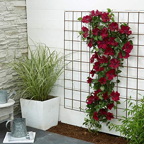 "Clematis ""Nubia""   2er Set Waldreben inkl. Klettergerüst   Kletterpflanze mit rosa Blüte   Höhe 55-65cm   Topf-Ø 15cm"