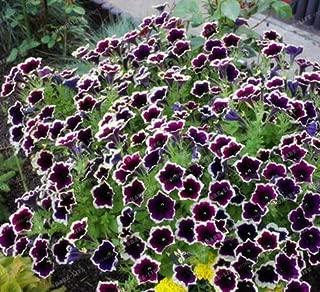 New Cascadia Rim Magenta Petunia 200+ seeds