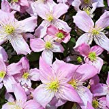 Clematis Montana Fragrant Spring Deciduous Scented Flowering Climbing Shrub