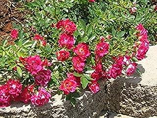 rosa drift red