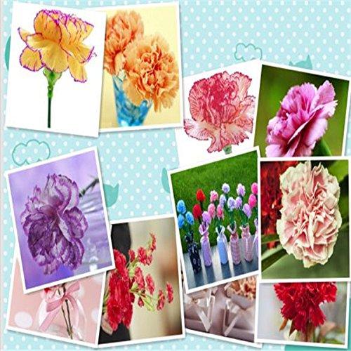 Carnation (Mix) Graines bonsaï fleurs graines de vente Big Hot vente de jardin de la maison DIY