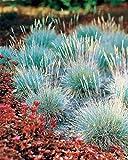 Aimado Seeds Garden-100 Pcs Fétuques bleues Plantes vivaces graminées ornementales exterieur graine herbe jardin