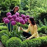 Inkeme Garden - 30 pièces Graines d'ornement géantes (Allium giganteum) Graines de fleurs exotiques