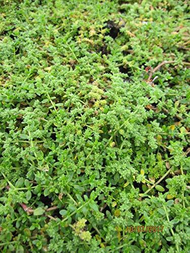 Hernaria glabra Serpyllifolia - Kahles Garten-Bruchkraut