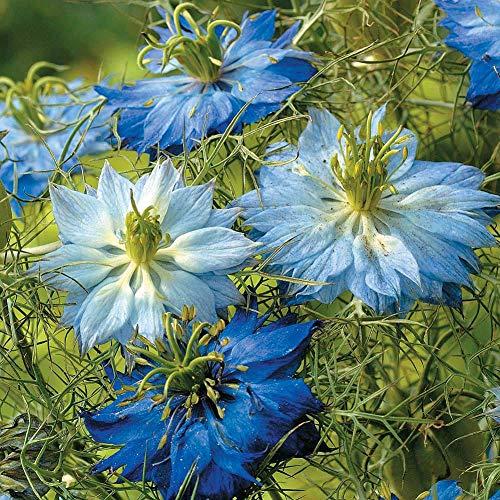 Love in A Mist Mix Seeds 40pcs (Nigella damascena) Organic Fennel Flower Herb Fresh Premium Plants Seeds for Planting Garden Yard Outdoor Indoor