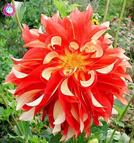 50PCS vivace Graines de fleurs Graines Dahlia belle intérieur fleur Balcon Bonsai usine pour la décoration de jardin