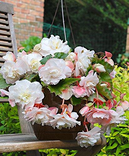 Keland Garten - 50pcs Duftende Hängebegonie 'Cascade Angelique' mit gefüllte Blüten selten Blumensamen wintergart mehrjährig, geeignet für Garten/Balkon/Terrase