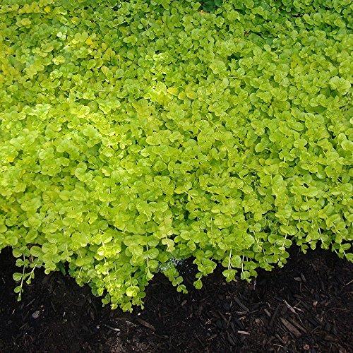 Lysimachia nummularia 'Aurea' - Lysimaque couvre-sol
