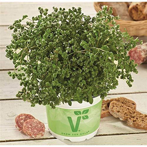 Italienischer Majoran 'Venezia', Origanum majorana - Kräuterpflanze, im Topf 11 cm, in Gärtnerqualität von Blumen Eber - 13-14 cm
