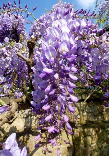 TROPICA - Japanischer Blauregen (Wisteria floribunda) - 4 Samen