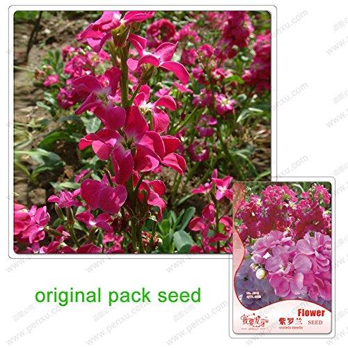 60 Samen/Pack, Garten-Levkoje Samen, Veilchen Blume, Topfpflanze Balkon Blumensamen