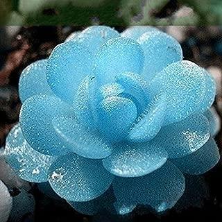 CER0T Egrow 100 PCS Blue Lithops Perennial Pseudotruncatella Seeds Kyanite Succulent Garden Plants Seed