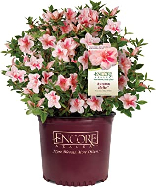 Brighter Blooms Autumn Belle Encore Azalea in 3 a 3 Gallon Pot - Pastel Pink Blooms   Amazing Blooms   Immediate Flowers   No