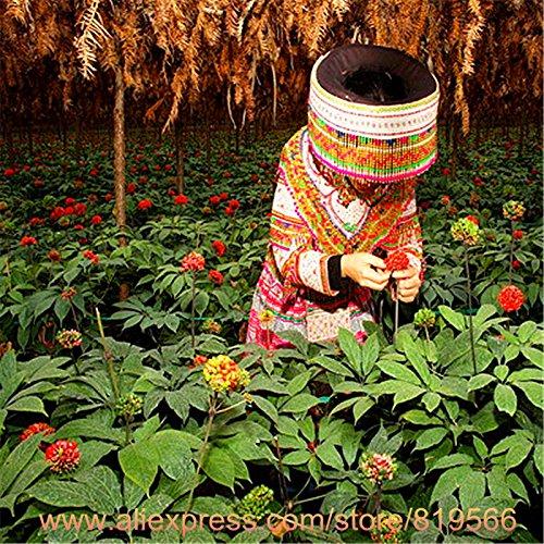 100% réel Wenshan chinois Sanqi Sementes Panax Notoginseng Graines Yunnan Tianqi Herbal Bonsai Pseudo Ginseng plantes Herbes semences