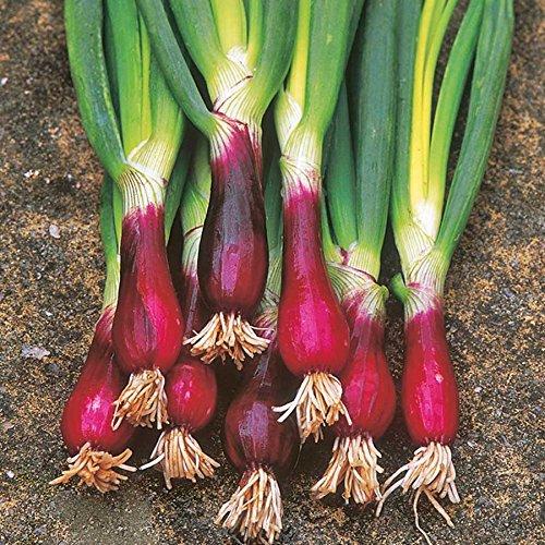 100 pc chinois Graines de Oignon vert rouge d'oignon de printemps semences de légume no-ogm pour la plantation de jardin de maison