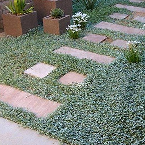 Générique Generic Dichondra Micrantha Urban Seed Hanging Plants-10 pcs