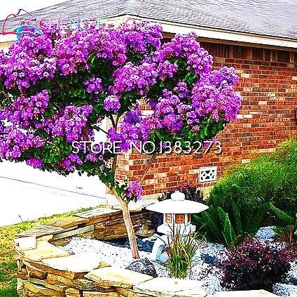 10 Graines Graines Crape Myrtle Tree Bonsai Fleur Plante en pot pour plantes à fleurs Jardin Décoration Blooms Perennial Cheap Seed