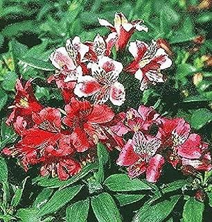 Raflesa Dwarf Peruvian Lily Seeds~