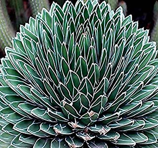 BULK x Agave victoriae-reginae a.k.a Queen Victoria agave, royal agave Seeds - one of the most beautiful and desirable species - By MySeeds.Co (0020 Seeds - Pkt. Size)