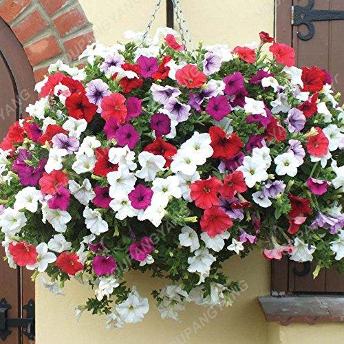 200pcs Bonsai couleurs mélangées Graines Petunia Belle Graines de fleurs Jardin Plante Pétunia Graine Balcon cadeau rare Décoration Lumière verte