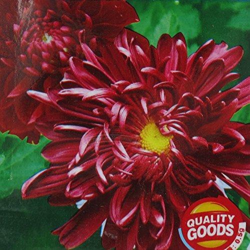 2 Packs originaux, 100 graines / paquet, rouge foncé Big chrysanthème morifolium Fleurs w / Coeur Jaune