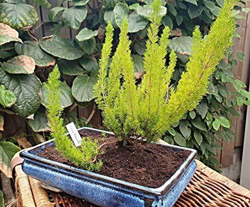 1000 Baumheide Samen, Erica arborea, baumartig wachsendes Heidekraut, Bruyère-Holz