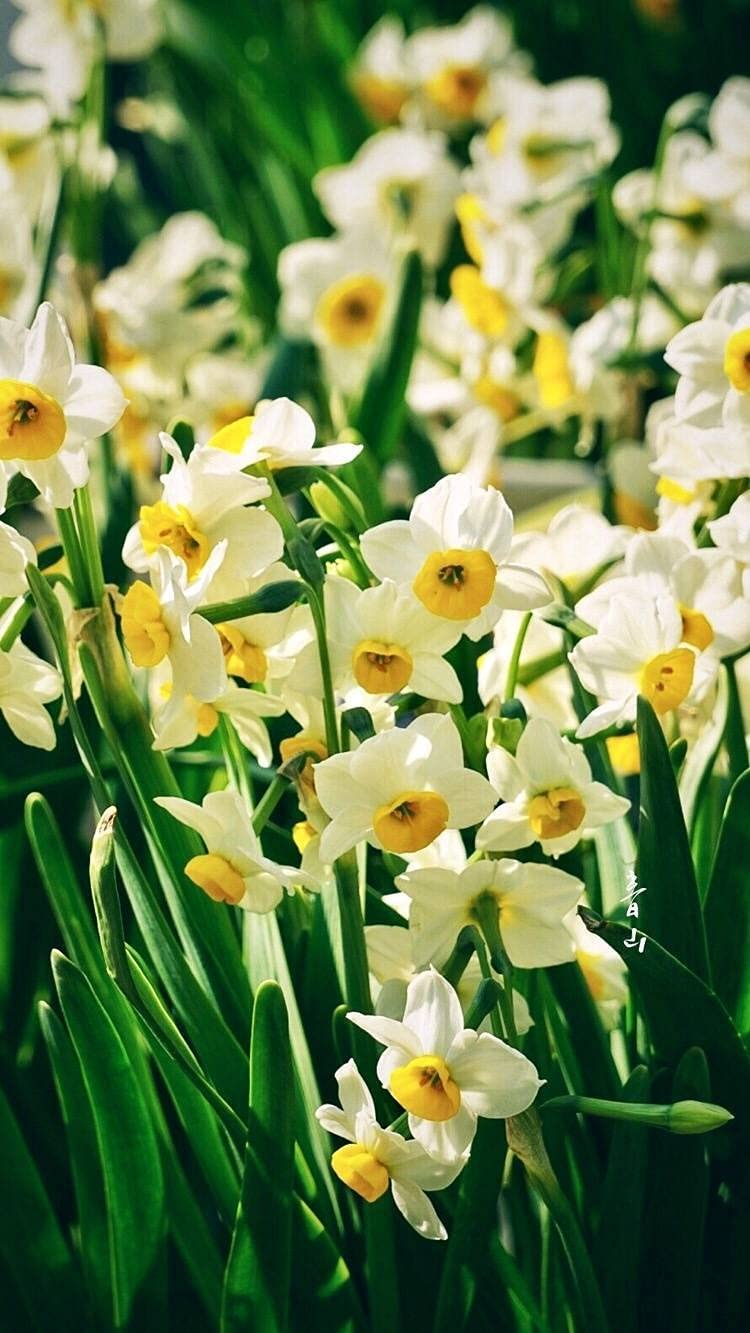 Product Daffodil Bulbs Annual Max 62% OFF Garden Flowers Plant for Good Especially
