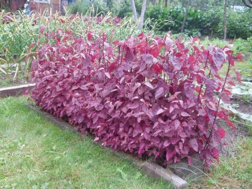 Gartenmelde Rot - Spanischer Salat, Spinat - Orach - 50 Samen