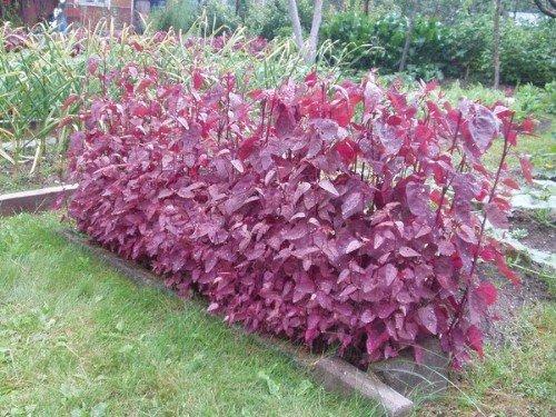 Gartenmelde Rot - Spanischer Salat - Spanischer Spinat - 50 Samen