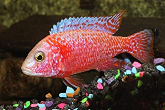 Best red peacock cichlid Reviews