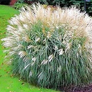 Chinese Silver Grass Seeds (Miscanthus Sinensis Early Hybrids) jocad (240+ Seeds)
