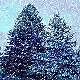 50 Pezzi Blu Abete Rosso Semi Specie Rare Colori Romantici Arbusto Perenne Ampiamente Piantumato Bella Decorazione Per Interni Ed Esterni Ha Molti Usi