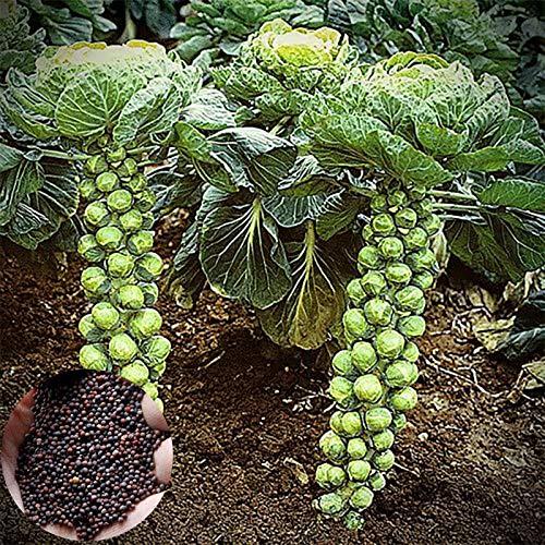 Col de Bruselas Semillas, 200Pcs Groninger semillas comestibles excelentes temprana del brote verde oscuro Productores de las coles de Bruselas Semillas para jardinería Ideal regalo al aire libre