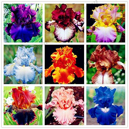 50pcs / sac graines Iris, fleur populaire de jardin de plantes vivaces, graines de fleurs rares coupe magnifique fleur pour orchidée plantation de jardin à domicile