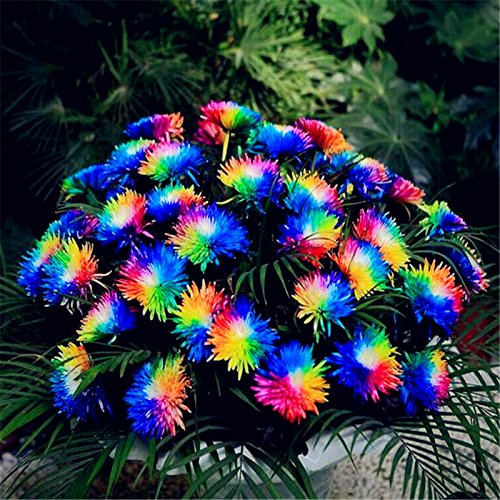 50 Regenbogen-Chrysantheme-Blumen-Samen seltene Farbe neue Ankunft DIY Hausgarten Blume Pflanze