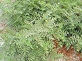 Shoppy Star: 15 Semillas de la planta de regaliz (Glycyrrhiza glabra)