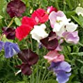 Outsidepride Annual Sweet Peas Mix
